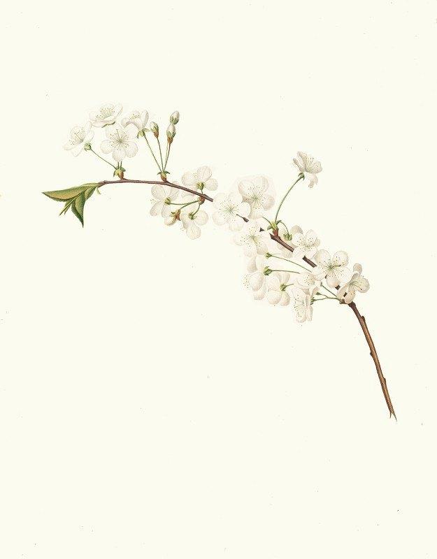 Giorgio Gallesio - Fiore di Ciliegio Visciolino, o Amareno. [Amarena cherry flower]