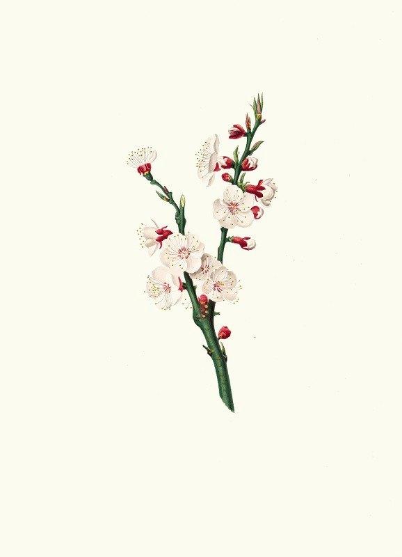 Giorgio Gallesio - Fiori di Albicocco. [Apricot flower]