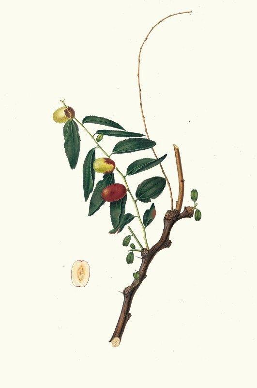Giorgio Gallesio - Giuggiola a frutto oblongo. [Ziziphus vulgaris ; Jujube]