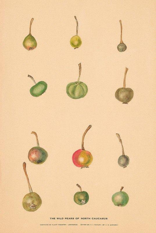 Nikolai Ivanovich Vavilov - The Wild Pears of North Caucasus 2