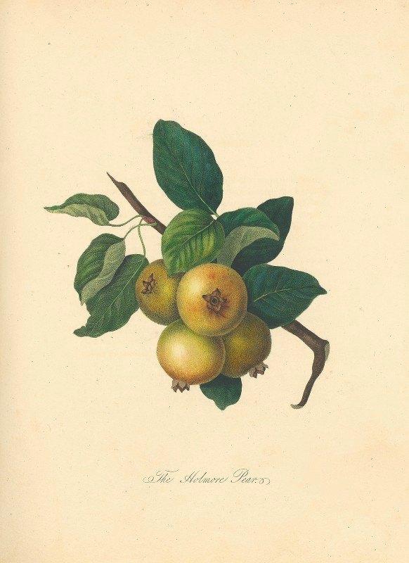 Thomas Andrew Knight - Holmore Pear