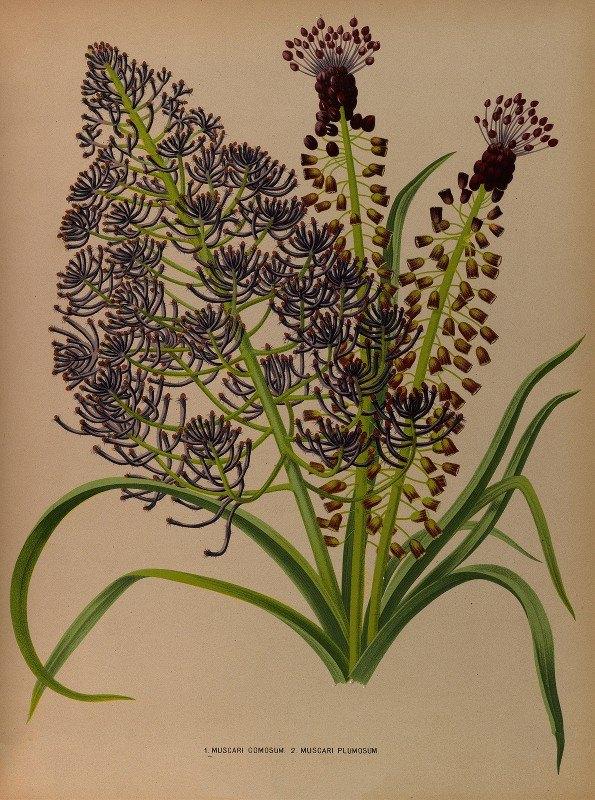 Arentine H. Arendsen - 1.Muscari Comosum 2. Muscari Plumosum