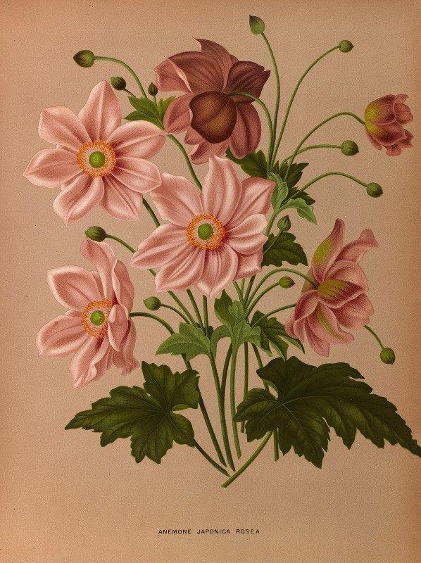 Arentine H. Arendsen - Anemone Japonica Rosea