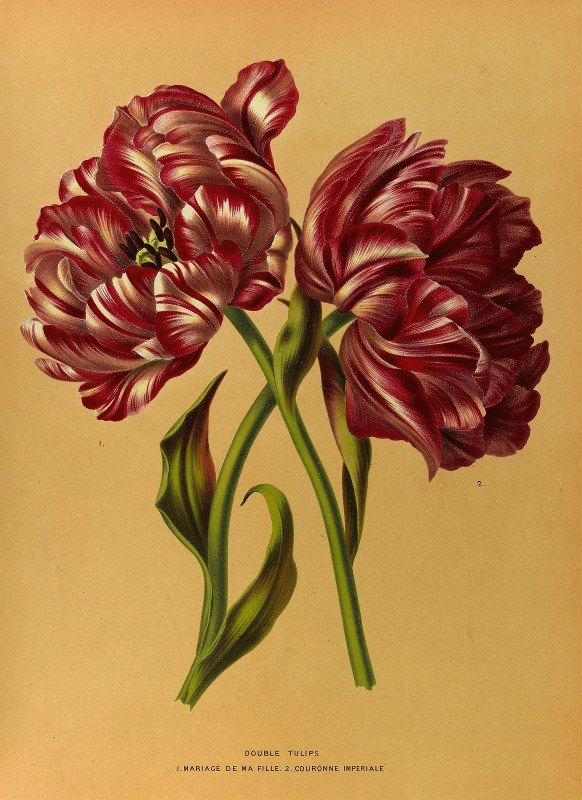 Arentine H. Arendsen - Double Tulips 1.Mariage De Ma Fl Lle. 2.Couronne Imperiale