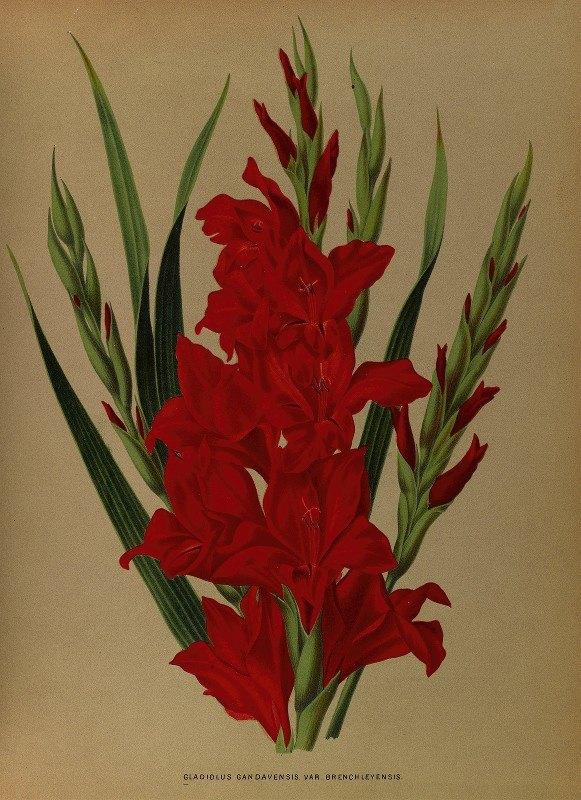 Arentine H. Arendsen - Gladiolus Gandavensis. Var. Brench Leyensis