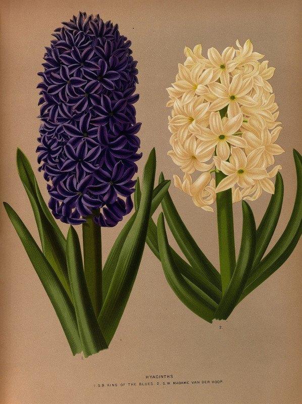 Arentine H. Arendsen - Hyacinths 6