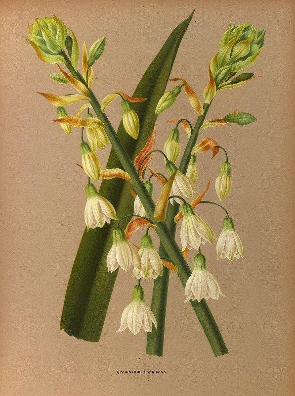 Arentine H. Arendsen - Hyacinthus Candicans