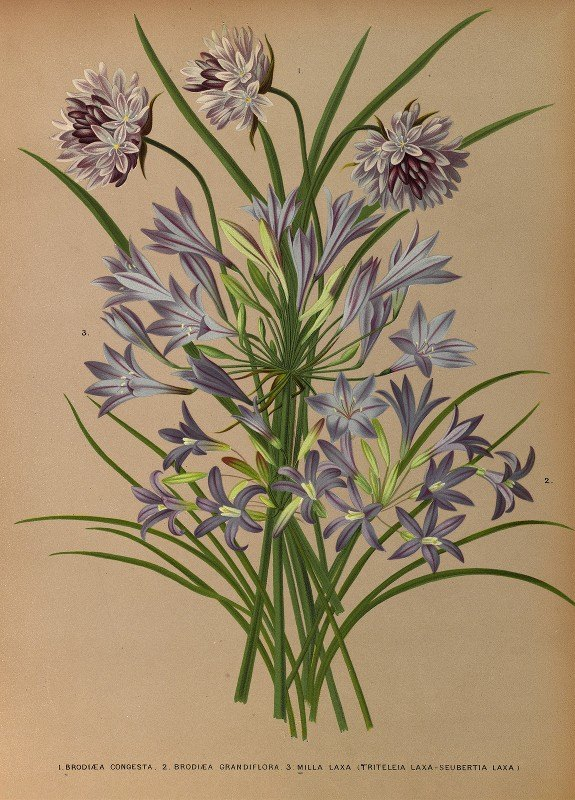 Arentine H. Arendsen - L.Brodiea Congesta . 2.Brodiea Grandlflora . 3 . Milla Laxa (Triteleia Laxa – Seubertia Laxa )
