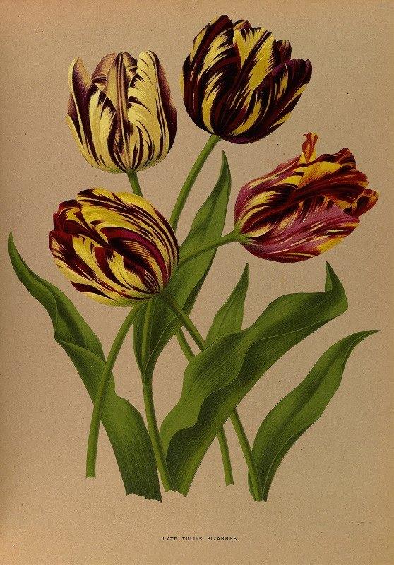 Arentine H. Arendsen - Late Tulips Bizarres