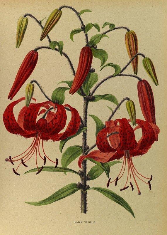 Arentine H. Arendsen - Lilium Tigrinum