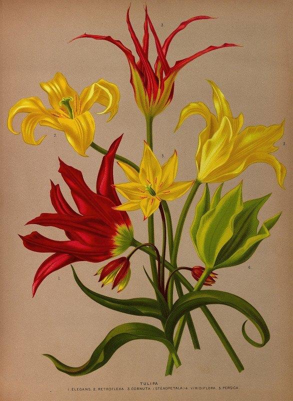 Arentine H. Arendsen - Tulipa