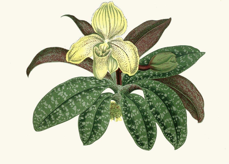 Edward Joseph Lowe - Cypripedium Concolor