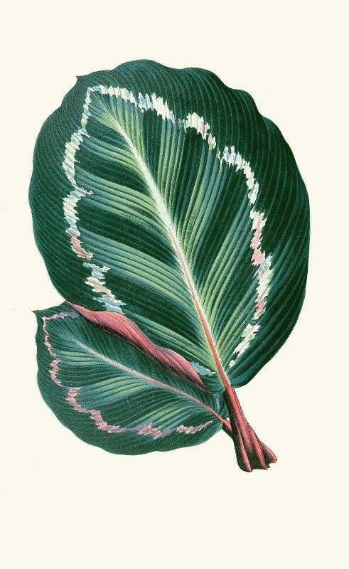 Edward Joseph Lowe - Maranta Illustris