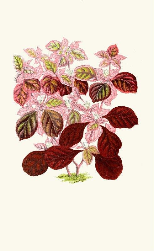 Edward Joseph Lowe - Telanthera Ficoidea