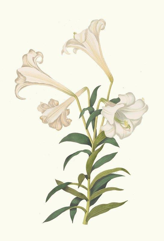 Priscilla Susan Bury - Lilium Longiflorum.