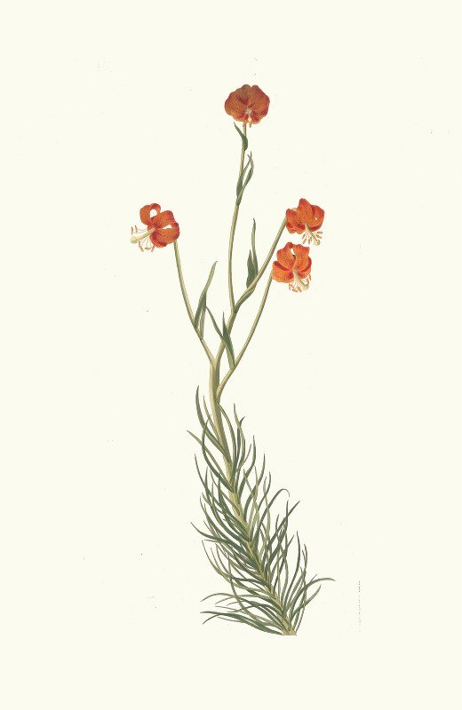 Priscilla Susan Bury - Lilium Pyrenaicum