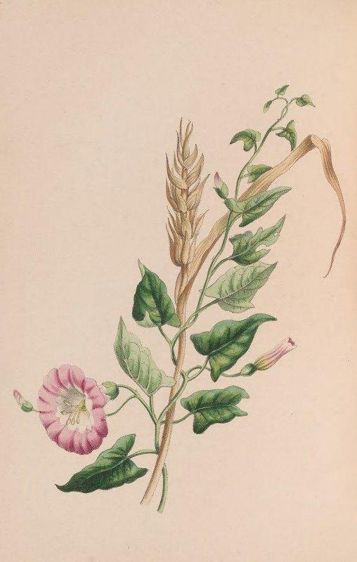 John Stevens Henslow - Geranium