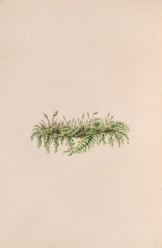 John Stevens Henslow - Mistletoe