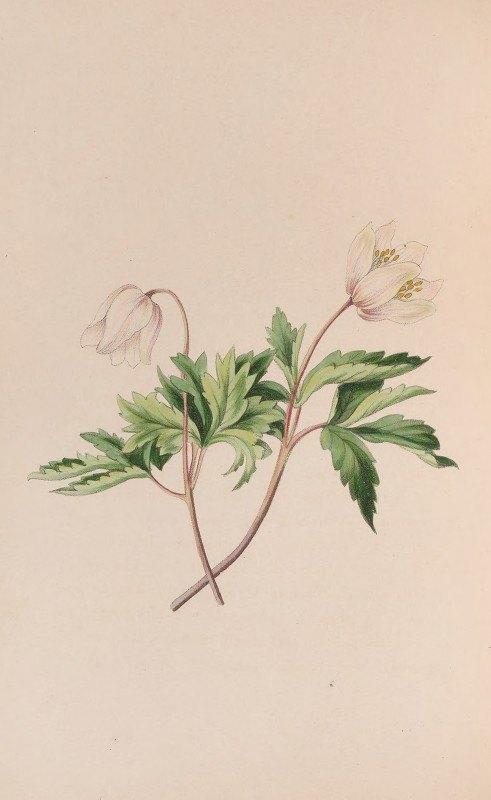 John Stevens Henslow - Wood Anemone