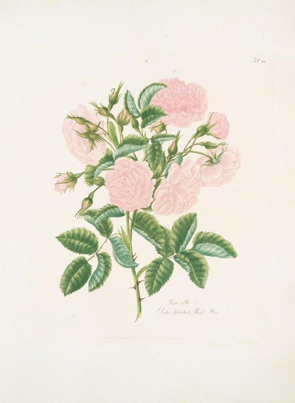 Mary Lawrance - Rosa alba