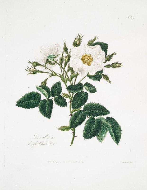 Mary Lawrance - Rosa alba2