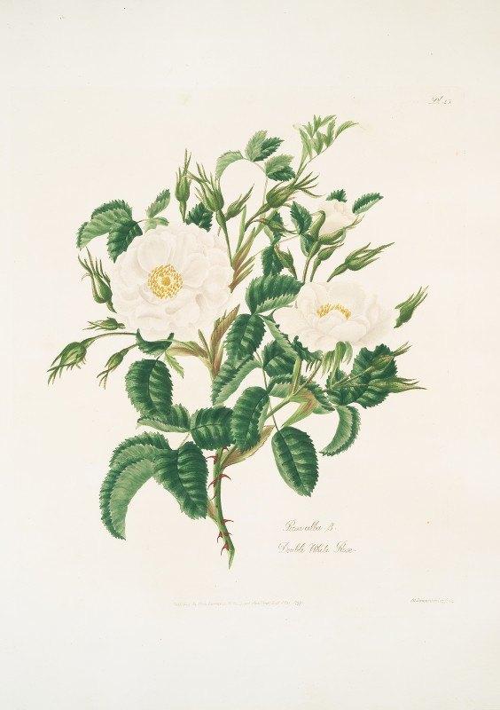 Mary Lawrance - Rosa alba3