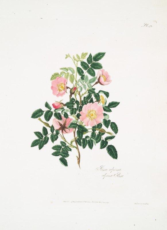 Mary Lawrance - Rosa alpina
