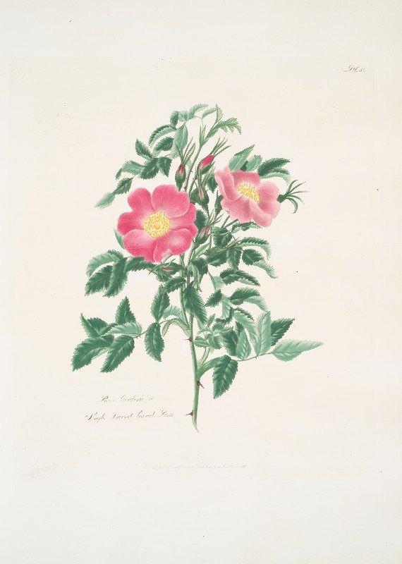 Mary Lawrance - Rosa carolina2