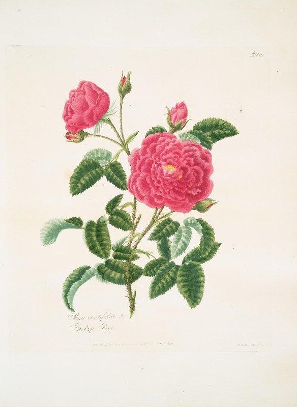Mary Lawrance - Rosa centifolia2