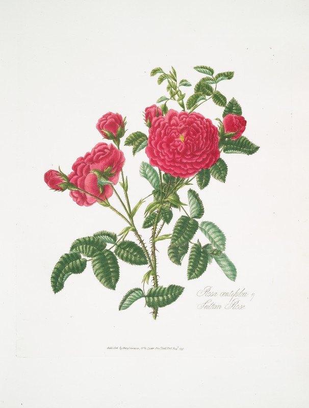 Mary Lawrance - Rosa centifolia3