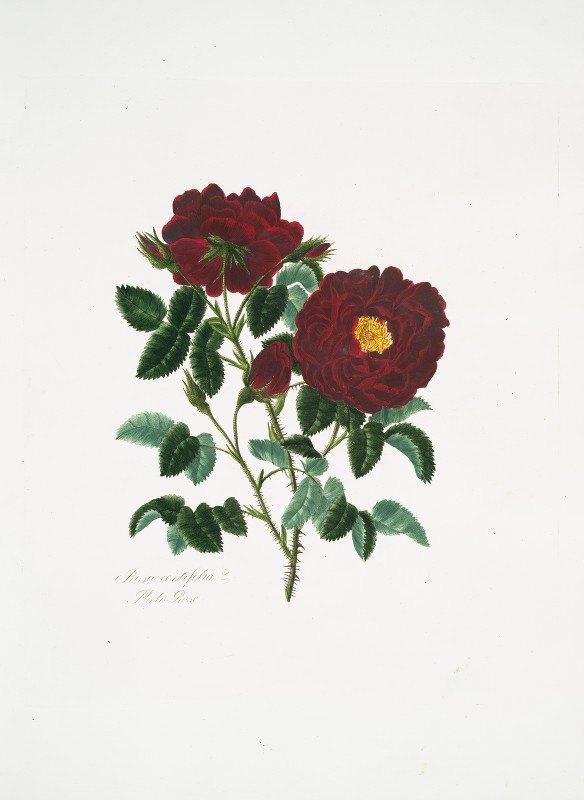 Mary Lawrance - Rosa centifolia4