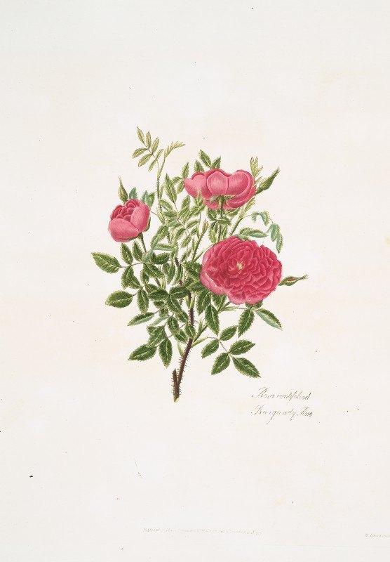 Mary Lawrance - Rosa centifolia5