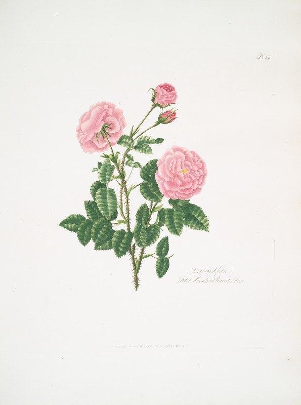 Mary Lawrance - Rosa centifolia8