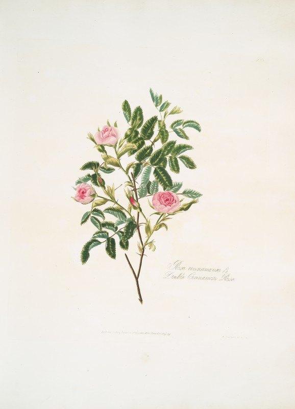 Mary Lawrance - Rosa cinnamomea