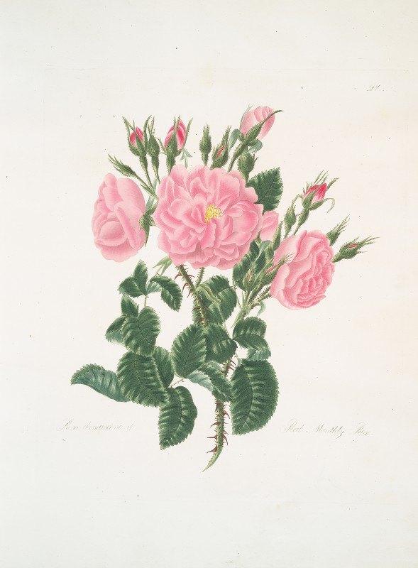 Mary Lawrance - Rosa damascena