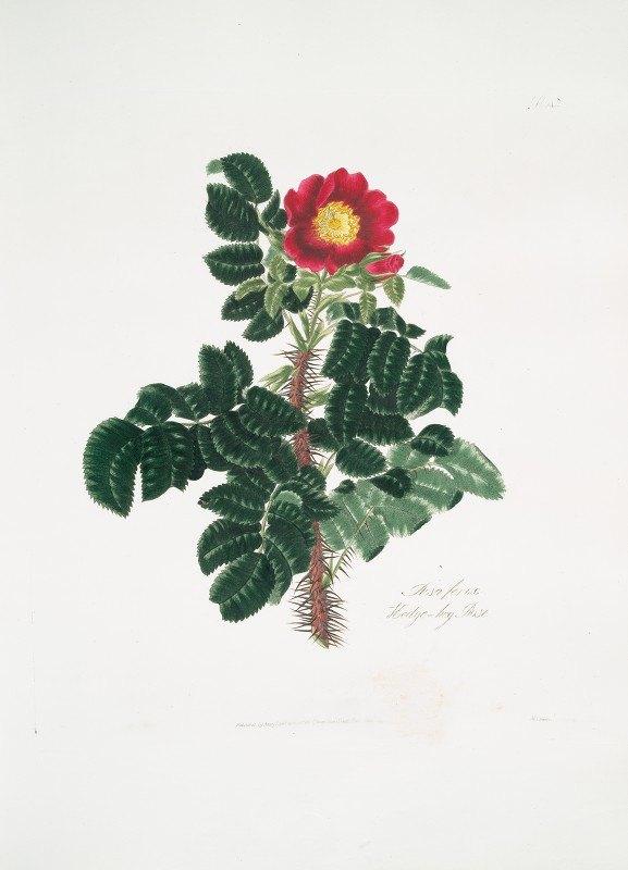 Mary Lawrance - Rosa ferox
