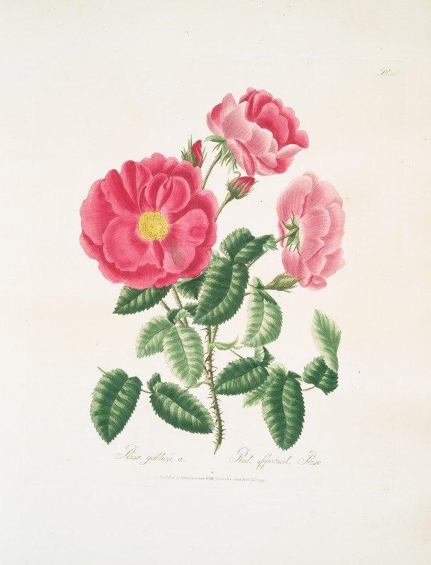 Mary Lawrance - Rosa gallica.