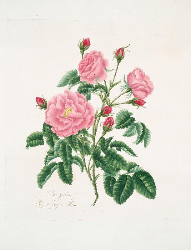 Mary Lawrance - Rosa gallica