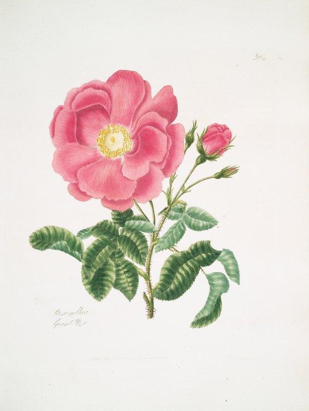 Mary Lawrance - Rosa gallica2