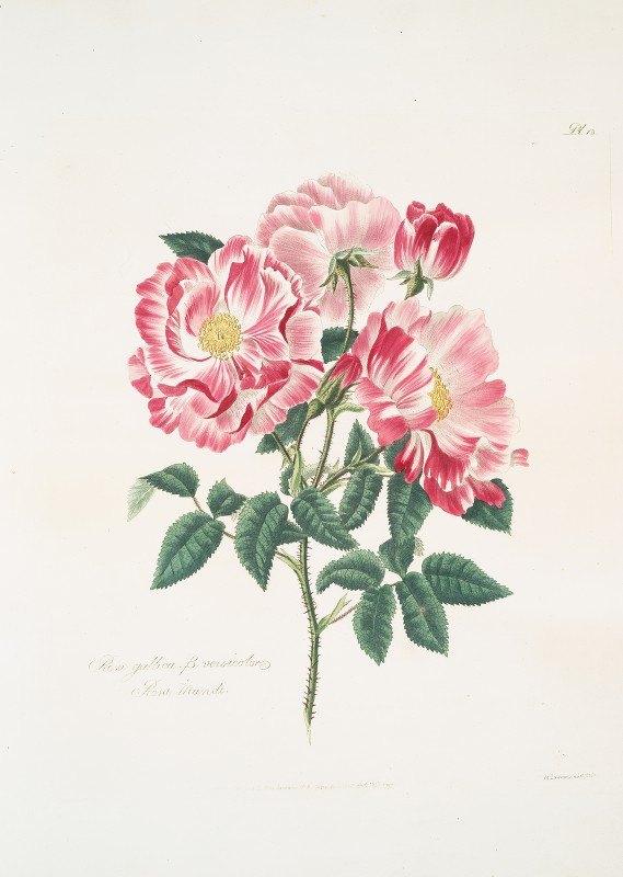 Mary Lawrance - Rosa gallica-versicolor