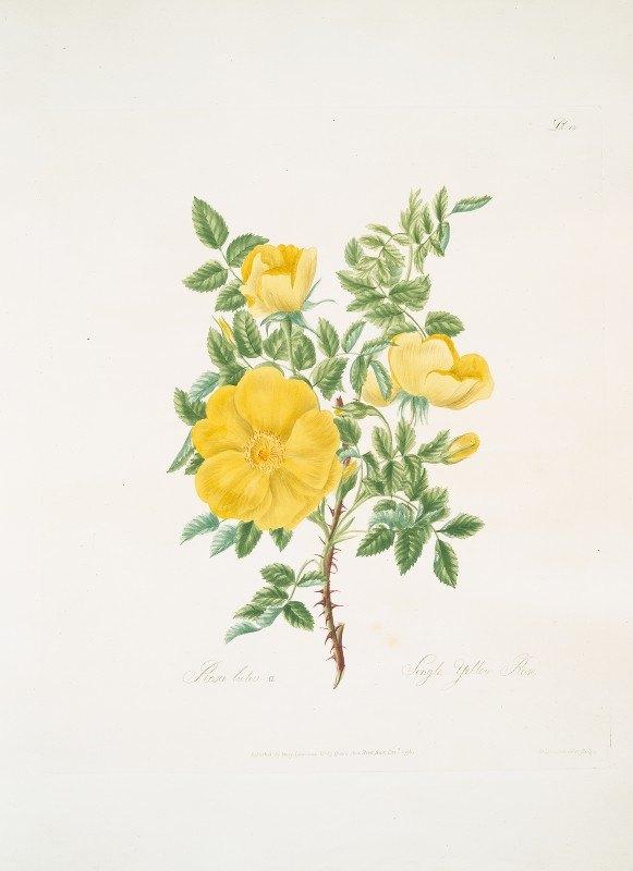 Mary Lawrance - Rosa lutea
