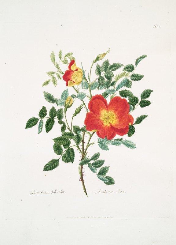 Mary Lawrance - Rosa lutea-bicolor