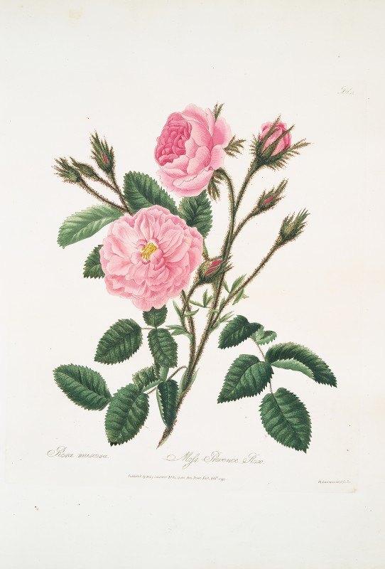 Mary Lawrance - Rosa muscosa