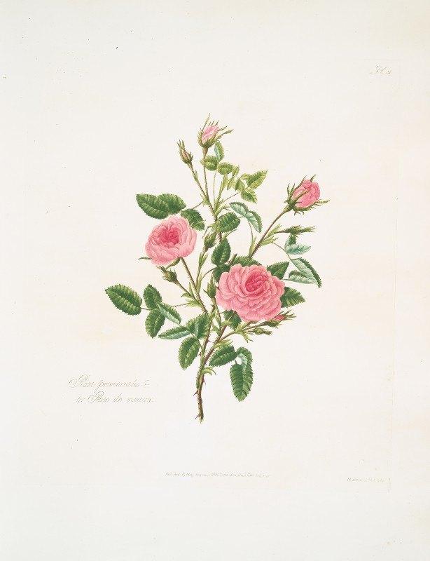Mary Lawrance - Rosa provincialis or Rose de meaux.