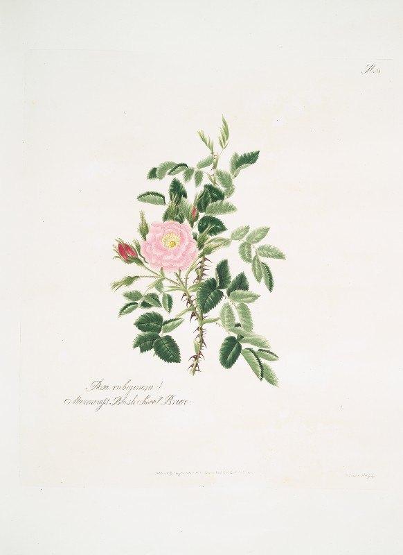 Mary Lawrance - Rosa rubiginosa