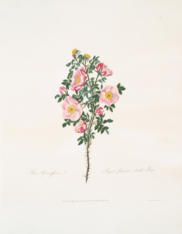 Mary Lawrance - Rosa spinosissima