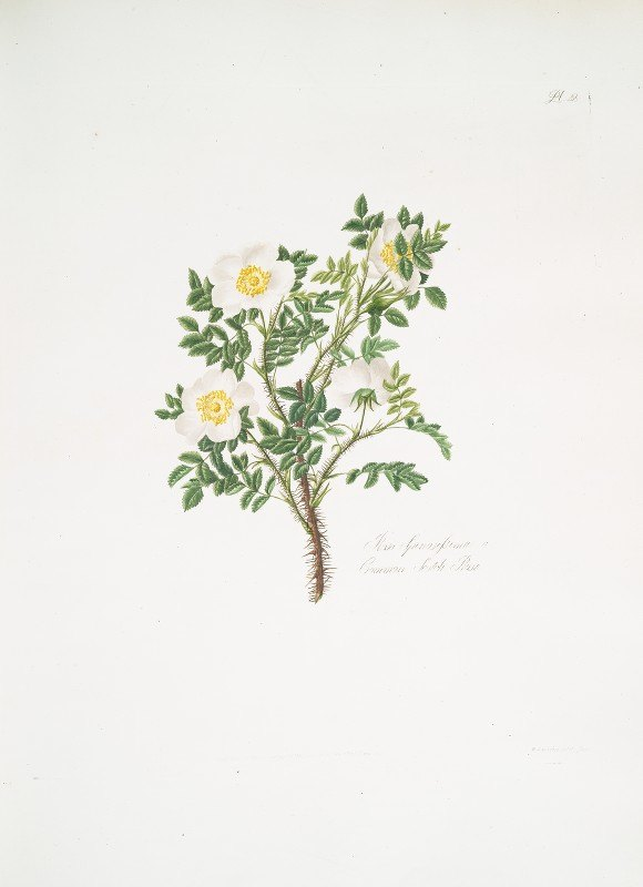 Mary Lawrance - Rosa spinosissima3