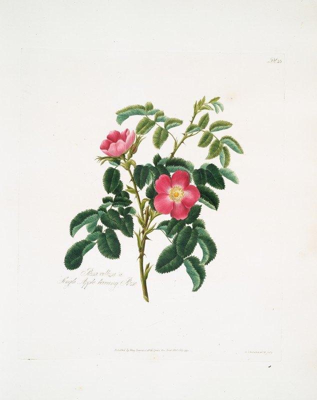 Mary Lawrance - Rosa villosa2