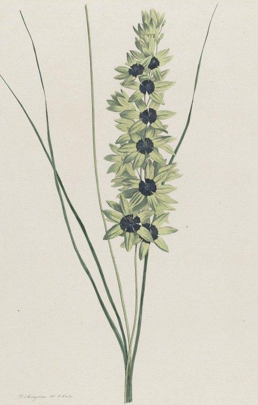 Hendrik Schwegman - Afrikaanse iris (Ixia maculata viridis)