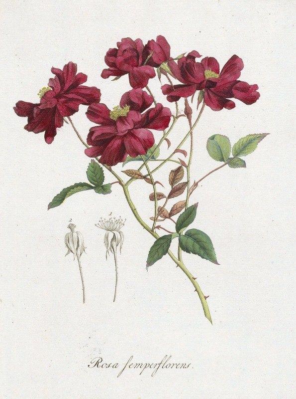 Hendrik Schwegman - Chinese roos (Rosa chinensis Jacq. )